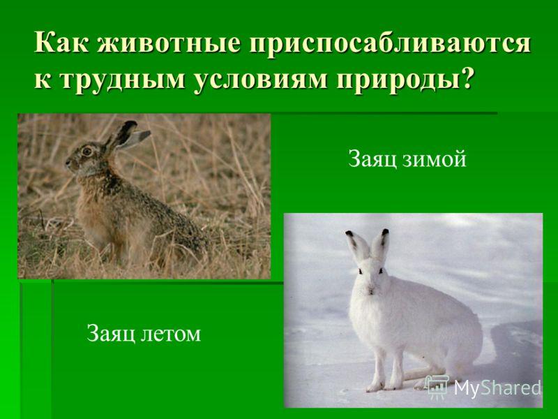 Как животные приспосабливаются к трудным условиям природы? Заяц летом Заяц зимой