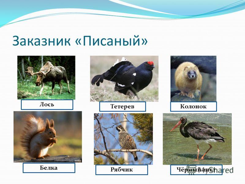 Лось ТетеревКолонок Белка РябчикЧёрный аист