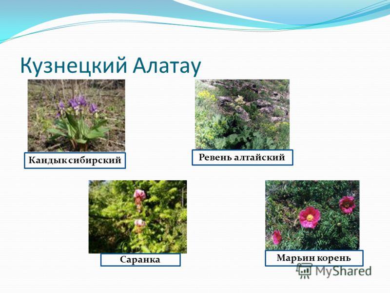 Кандык сибирский Саранка Ревень алтайский Марьин корень