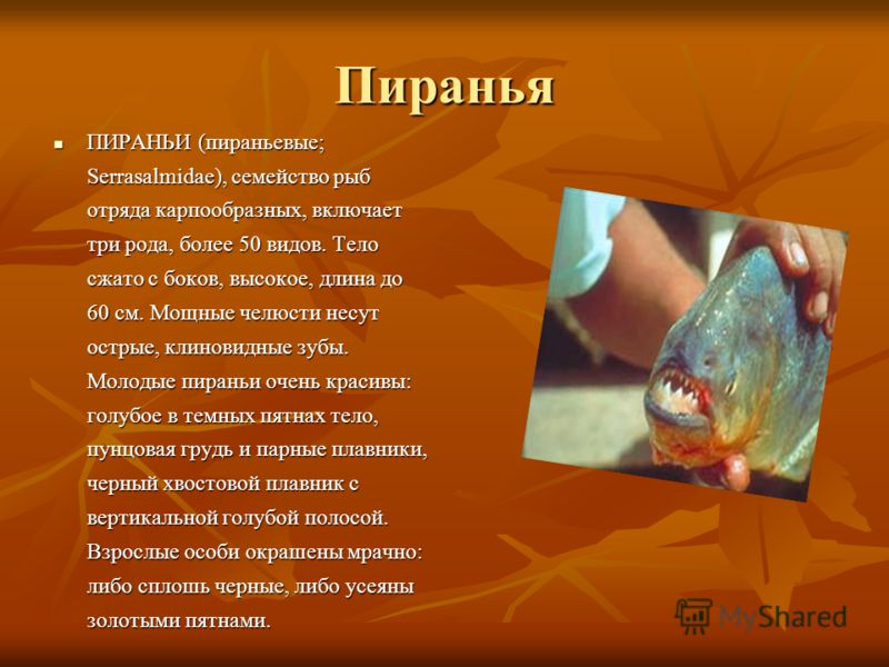Пиранья ПИРАНЬИ (пираньевые; Serrasalmidae), семейство рыб отряда карпообразных, включает три рода, более 50 видов. Тело сжато с боков, высокое, длина до 60 см. Мощные челюсти несут острые, клиновидные зубы. Молодые пираньи очень красивы: голубое в т