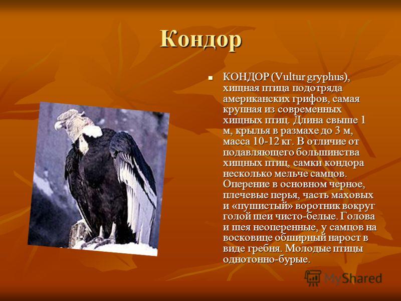 Кондор КОНДОР (Vultur gryphus), хищная птица подотряда американских грифов, самая крупная из современных хищных птиц. Длина свыше 1 м, крылья в размахе до 3 м, масса 10-12 кг. В отличие от подавляющего большинства хищных птиц, самки кондора несколько