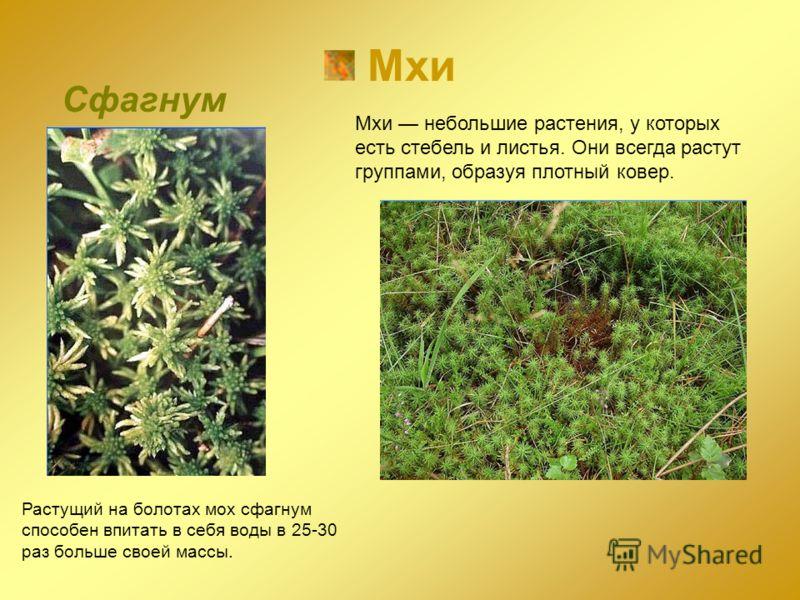 Мхи Сфагнум Растущий на болотах мох сфагнум способен впитать в себя воды в 25-30 раз больше своей массы. Мхи небольшие растения, у которых есть стебель и листья. Они всегда растут группами, образуя плотный ковер.