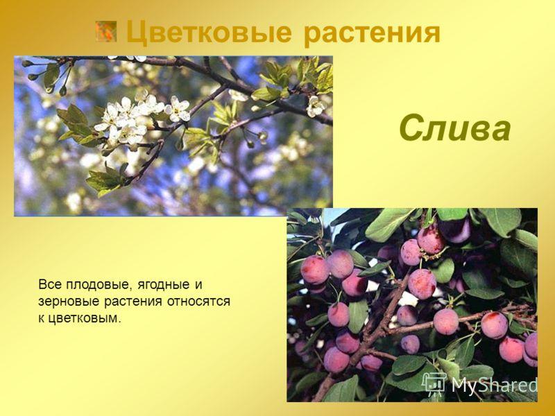 Цветковые растения Все плодовые, ягодные и зерновые растения относятся к цветковым. Слива