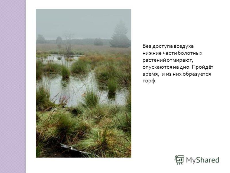 Без доступа воздуха нижние части болотных растений отмирают, опускаются на дно. Пройдёт время, и из них образуется торф.