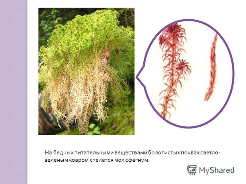 На бедных питательными веществами болотистых почвах светло - зелёным ковром стелется мох сфагнум.