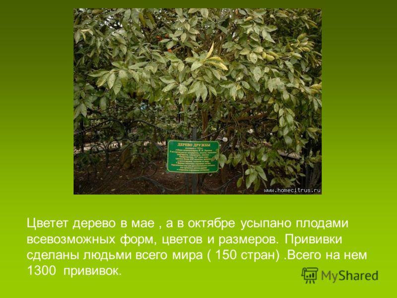 Цветет дерево в мае, а в октябре усыпано плодами всевозможных форм, цветов и размеров. Прививки сделаны людьми всего мира ( 150 стран).Всего на нем 1300 прививок.