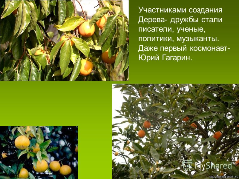 Участниками создания Дерева- дружбы стали писатели, ученые, политики, музыканты. Даже первый космонавт- Юрий Гагарин.
