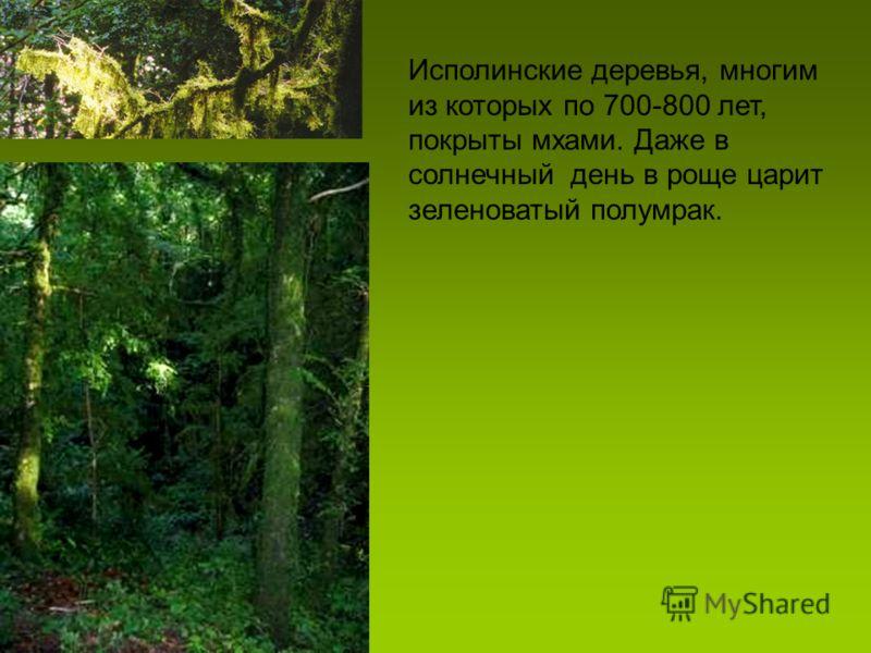 Исполинские деревья, многим из которых по 700-800 лет, покрыты мхами. Даже в солнечный день в роще царит зеленоватый полумрак.