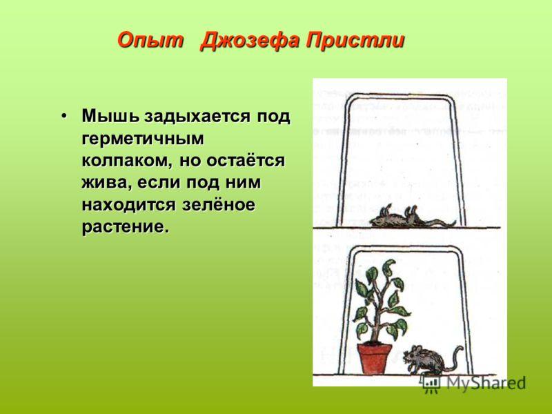 Опыт Джозефа Пристли Мышь задыхается под герметичным колпаком, но остаётся жива, если под ним находится зелёное растение.Мышь задыхается под герметичным колпаком, но остаётся жива, если под ним находится зелёное растение.