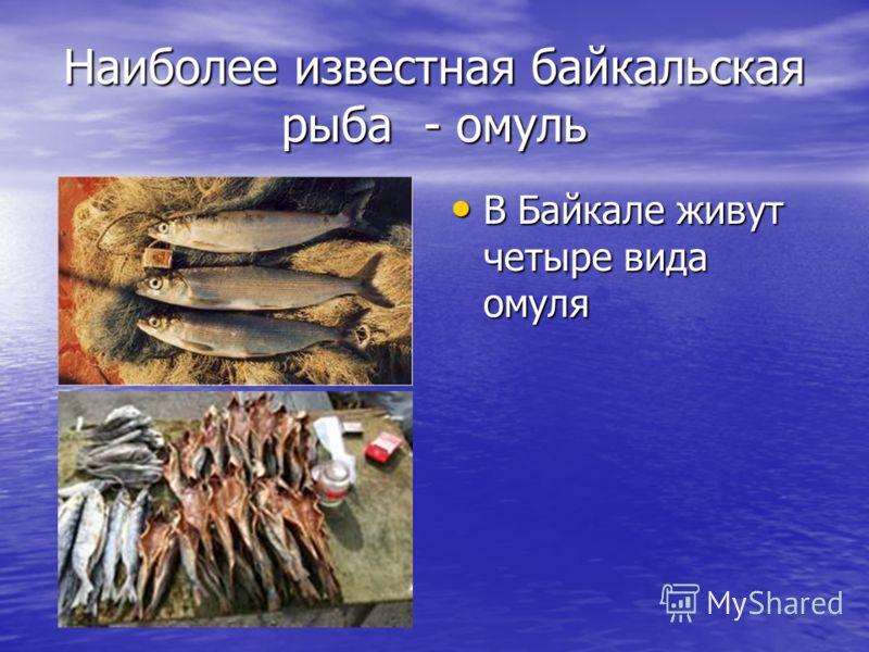 Наиболее известная байкальская рыба - омуль В Байкале живут четыре вида омуля В Байкале живут четыре вида омуля