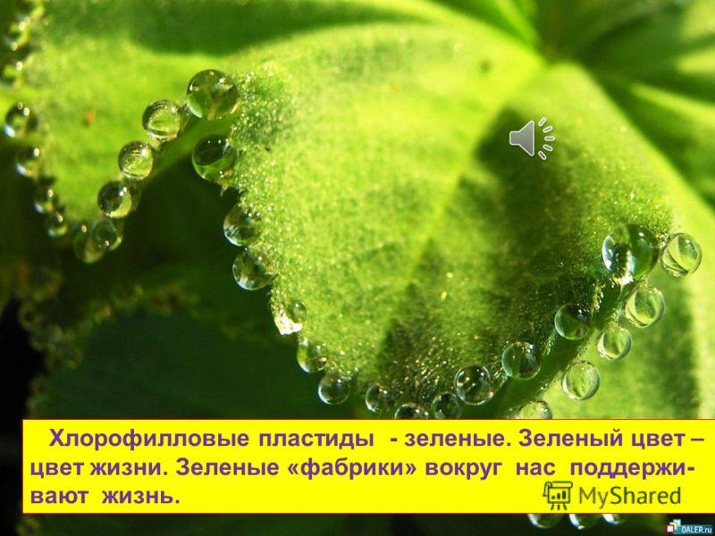 Целебные свойства хлорофилла были известны еще в далёком прошлом. Хлорофиллом лечили заболевания крови, его использовали для освежения дыхания, избавления от дурных запахов, для заживления инфицированных ран.