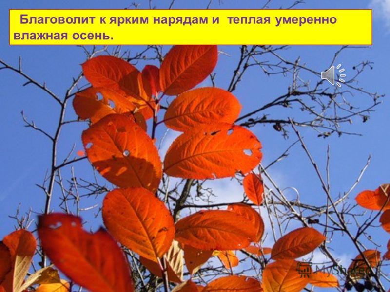 Сухая солнечная осень дарит нам не только хорошее настроение, но и сочно окрашенные листья.