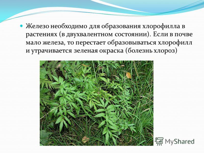Железо необходимо для образования хлорофилла в растениях (в двухвалентном состоянии). Если в почве мало железа, то перестает образовываться хлорофилл и утрачивается зеленая окраска (болезнь хлороз)