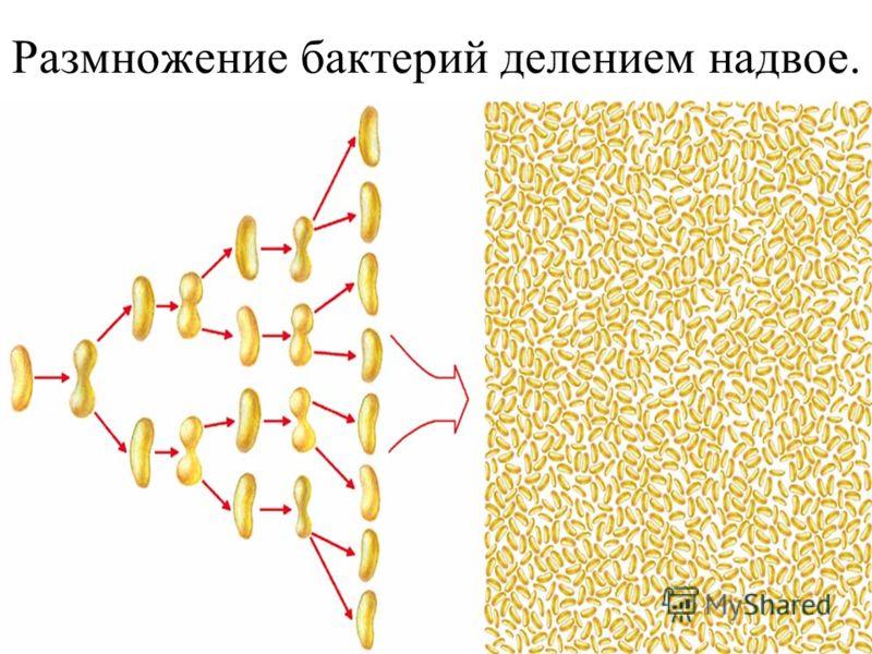 Размножение бактерий делением надвое.