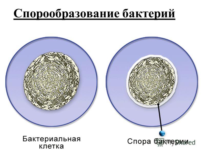 Спорообразование бактерий