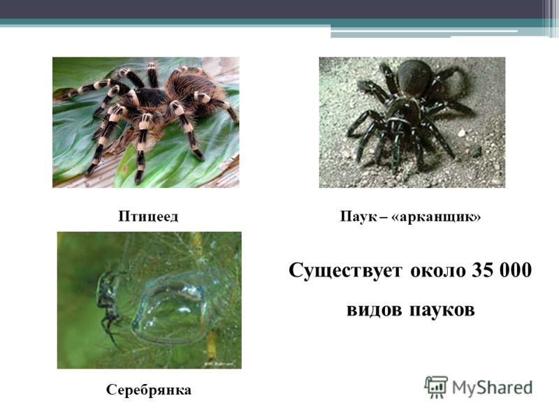 ПтицеедПаук – «арканщик» Серебрянка Существует около 35 000 видов пауков