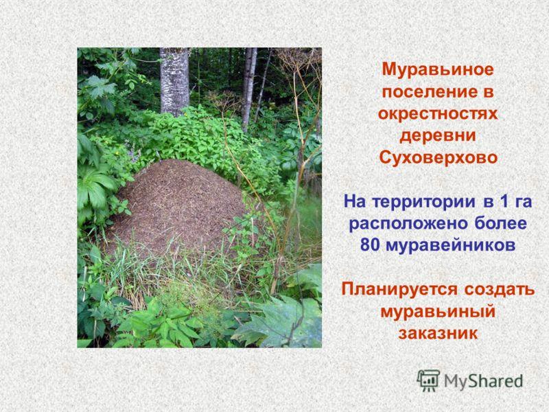 Муравьиное поселение в окрестностях деревни Суховерхово На территории в 1 га расположено более 80 муравейников Планируется создать муравьиный заказник
