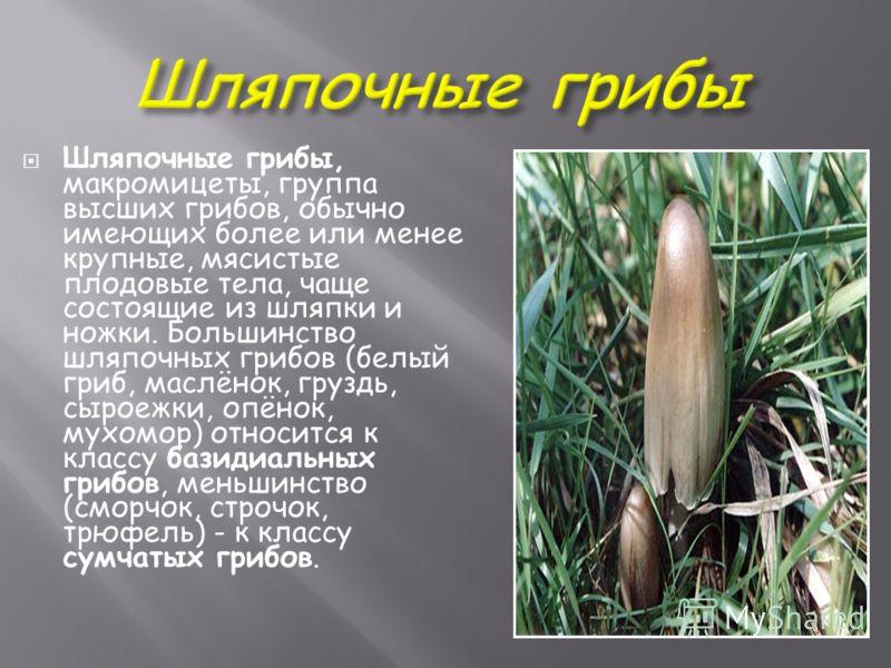 Шляпочные грибы, макромицеты, группа высших грибов, обычно имеющих более или менее крупные, мясистые плодовые тела, чаще состоящие из шляпки и ножки. Большинство шляпочных грибов (белый гриб, маслёнок, груздь, сыроежки, опёнок, мухомор) относится к к