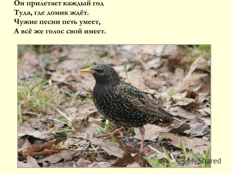 Он прилетает каждый год Туда, где домик ждёт. Чужие песни петь умеет, А всё же голос свой имеет.
