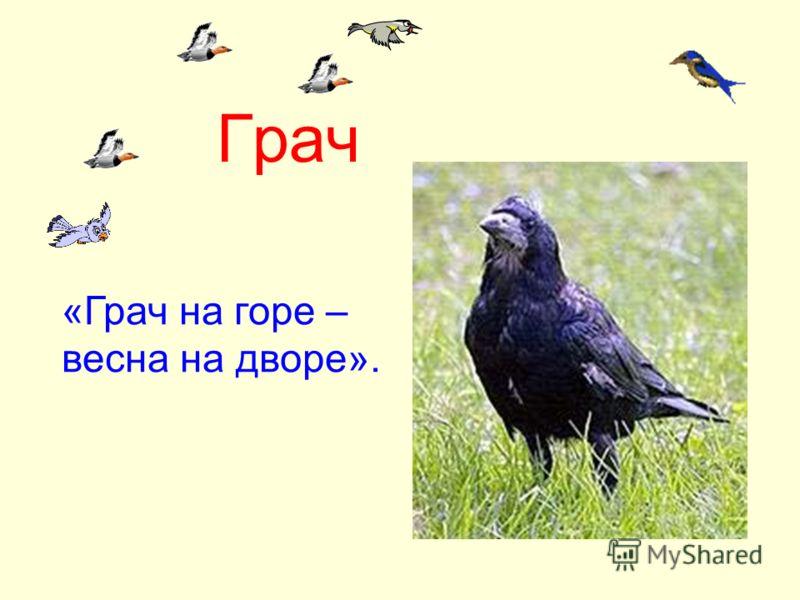 Грач «Грач на горе – весна на дворе».