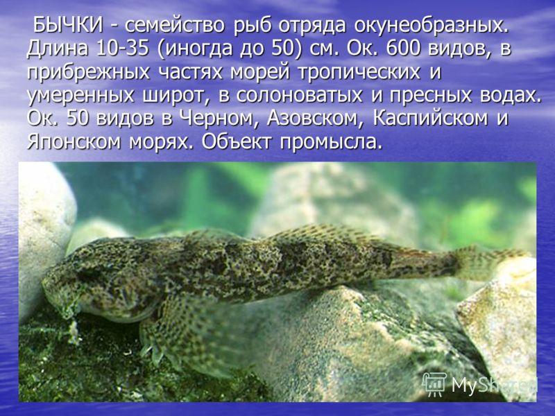 БЫЧКИ - семейство рыб отряда окунеобразных. Длина 10-35 (иногда до 50) см. Ок. 600 видов, в прибрежных частях морей тропических и умеренных широт, в солоноватых и пресных водах. Ок. 50 видов в Черном, Азовском, Каспийском и Японском морях. Объект про