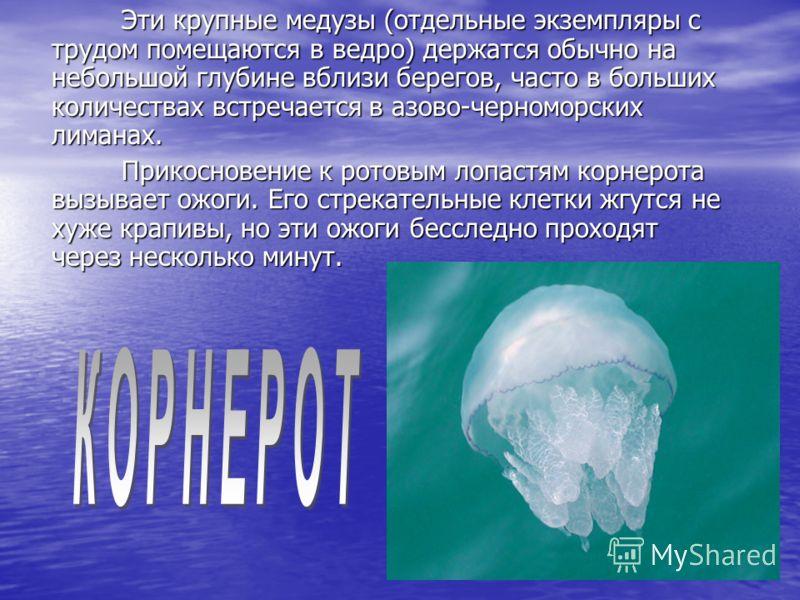 Эти крупные медузы (отдельные экземпляры с трудом помещаются в ведро) держатся обычно на небольшой глубине вблизи берегов, часто в больших количествах встречается в азово-черноморских лиманах. Эти крупные медузы (отдельные экземпляры с трудом помещаю