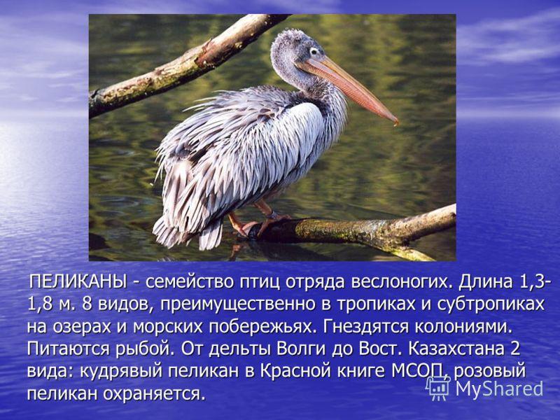 ПЕЛИКАНЫ - семейство птиц отряда веслоногих. Длина 1,3- 1,8 м. 8 видов, преимущественно в тропиках и субтропиках на озерах и морских побережьях. Гнездятся колониями. Питаются рыбой. От дельты Волги до Вост. Казахстана 2 вида: кудрявый пеликан в Красн