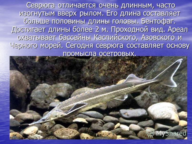 Севрюга отличается очень длинным, часто изогнутым вверх рылом. Его длина составляет больше половины длины головы. Бентофаг. Достигает длины более 2 м. Проходной вид. Ареал охватывает бассейны Каспийского, Азовского и Черного морей. Сегодня севрюга со
