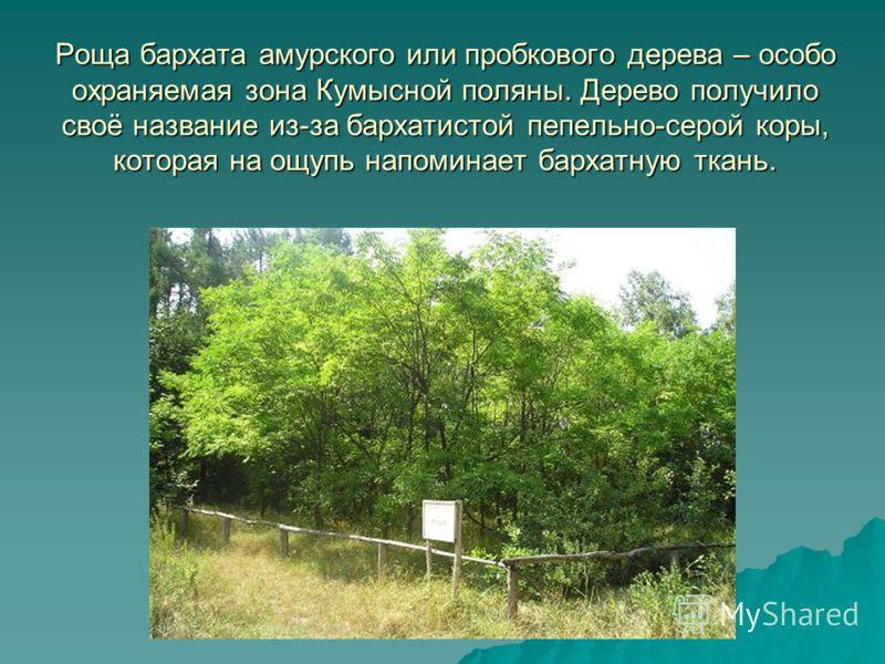 Роща бархата амурского или пробкового дерева – особо охраняемая зона Кумысной поляны. Дерево получило своё название из-за бархатистой пепельно-серой коры, которая на ощупь напоминает бархатную ткань.