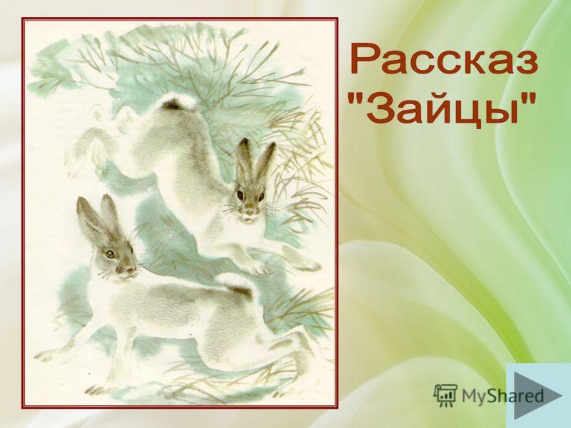«…Наутро охотники начинают разбирать заячий след, путаются по двойным следам и далёким прыжкам и удивляются хитростям зайца. А заяц и не думал хитрить. Он только всего боится…»