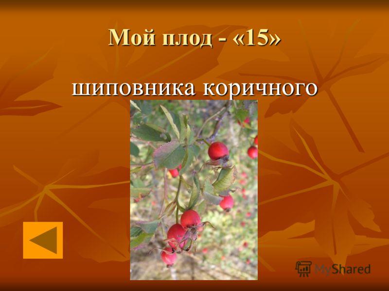 Мой плод - «15» шиповника коричного