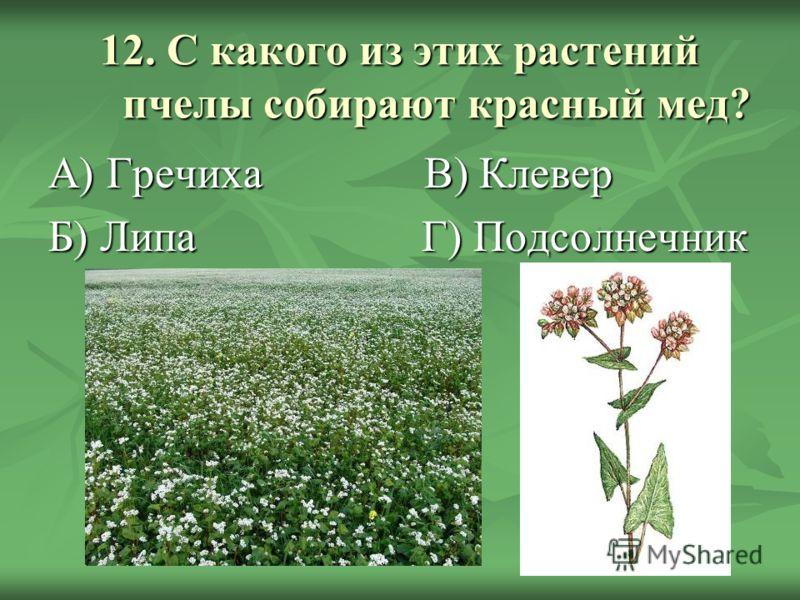 12. С какого из этих растений пчелы собирают красный мед? А) Гречиха В) Клевер Б) Липа Г) Подсолнечник