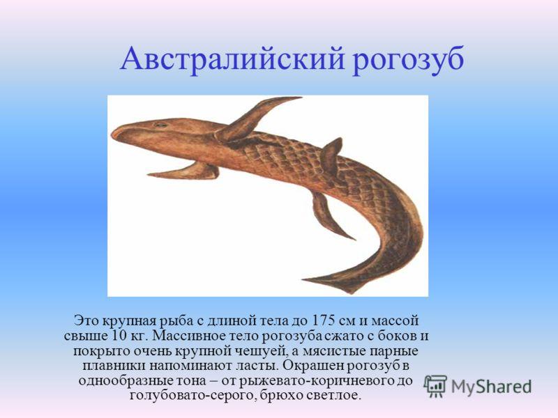 Это крупная рыба с длиной тела до 175 см и массой свыше 10 кг. Массивное тело рогозуба сжато с боков и покрыто очень крупной чешуей, а мясистые парные плавники напоминают ласты. Окрашен рогозуб в однообразные тона – от рыжевато-коричневого до голубов