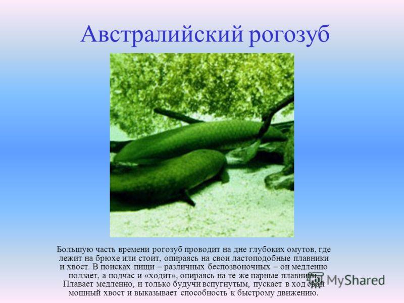 Австралийский рогозуб Большую часть времени рогозуб проводит на дне глубоких омутов, где лежит на брюхе или стоит, опираясь на свои ластоподобные плавники и хвост. В поисках пищи – различных беспозвоночных – он медленно ползает, а подчас и «ходит», о