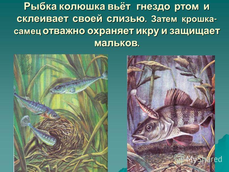 Рыбка колюшка вьёт гнездо ртом и склеивает своей слизью. Затем крошка - самец отважно охраняет икру и защищает мальков.