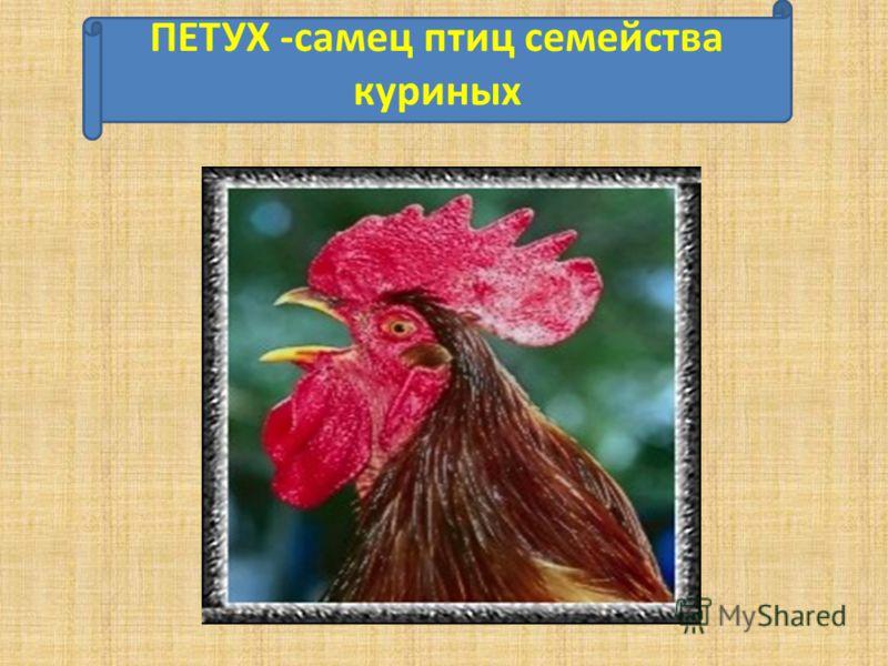 ПЕТУХ -самец птиц семейства куриных