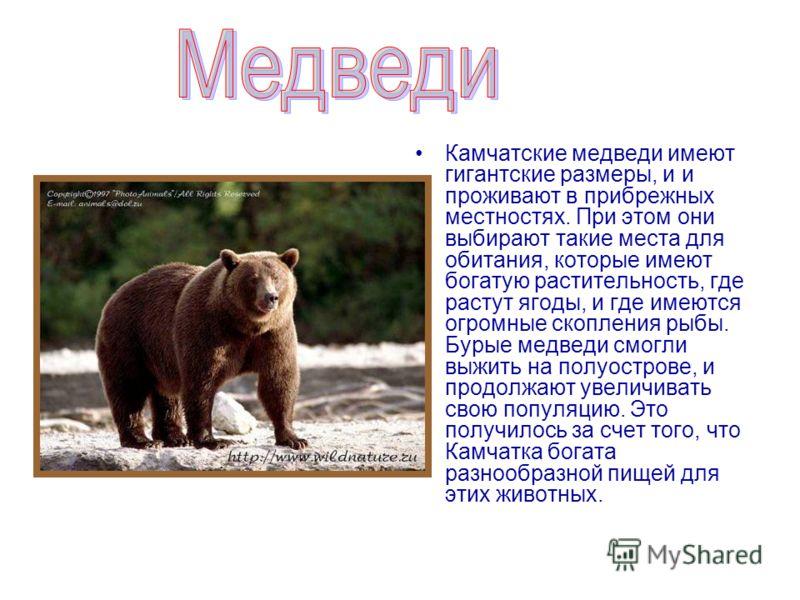 Камчатские медведи имеют гигантские размеры, и и проживают в прибрежных местностях. При этом они выбирают такие места для обитания, которые имеют богатую растительность, где растут ягоды, и где имеются огромные скопления рыбы. Бурые медведи смогли вы