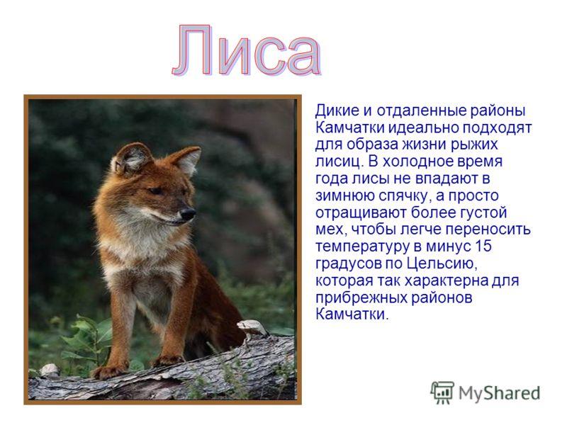 Дикие и отдаленные районы Камчатки идеально подходят для образа жизни рыжих лисиц. В холодное время года лисы не впадают в зимнюю спячку, а просто отращивают более густой мех, чтобы легче переносить температуру в минус 15 градусов по Цельсию, которая