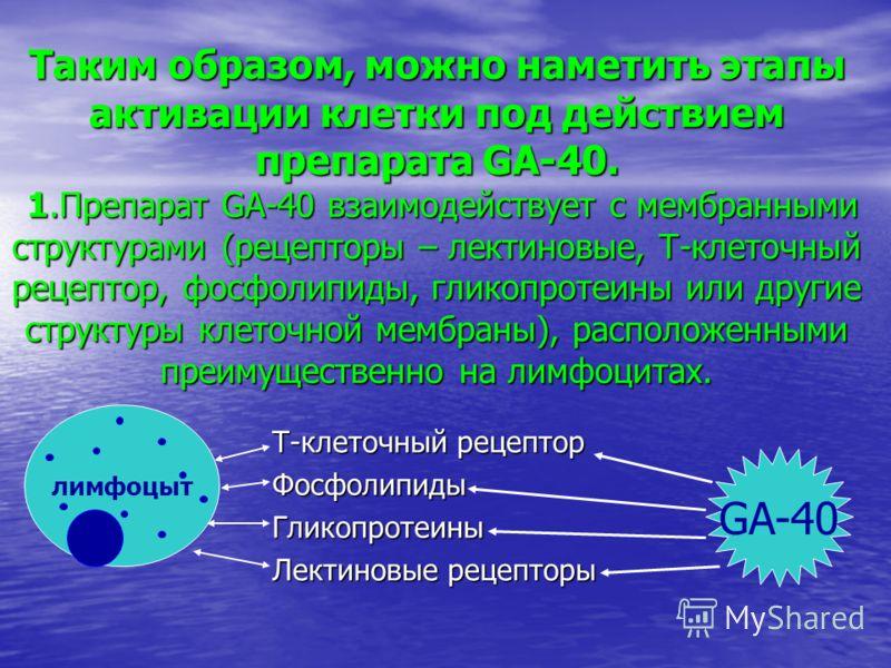 Таким образом, можно наметить этапы активации клетки под действием препарата GA-40. 1.Препарат GA-40 взаимодействует с мембранными структурами (рецепторы – лектиновые, Т-клеточный рецептор, фосфолипиды, гликопротеины или другие структуры клеточной ме