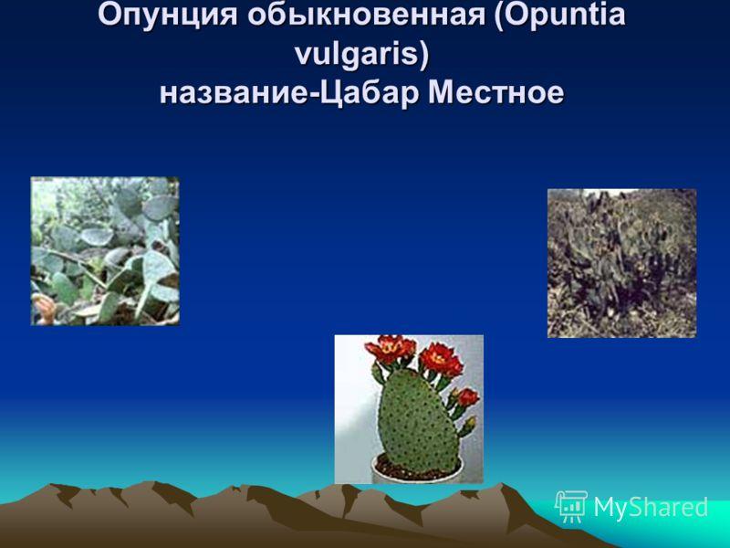 Опунция обыкновенная (Opuntia vulgaris) Местное название-Цабар Опунция обыкновенная (Opuntia vulgaris) Местное название-Цабар