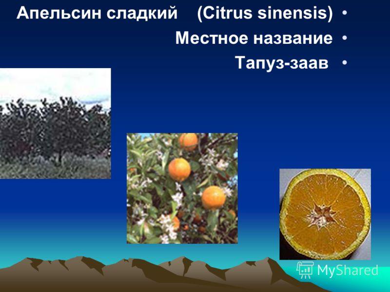 Апельсин сладкий (Citrus sinensis) название Местное заав -Тапуз