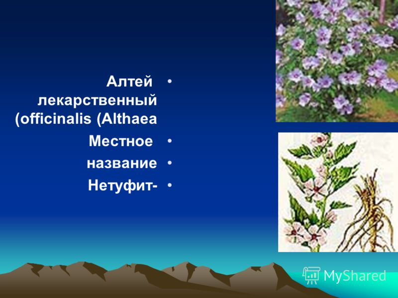 Алтей лекарственный (Althaea officinalis) Местное название -Нетуфит