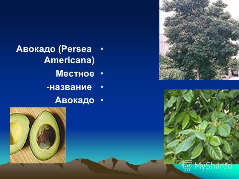 Авокадо (Persea Americana) Местное название- Авокадо
