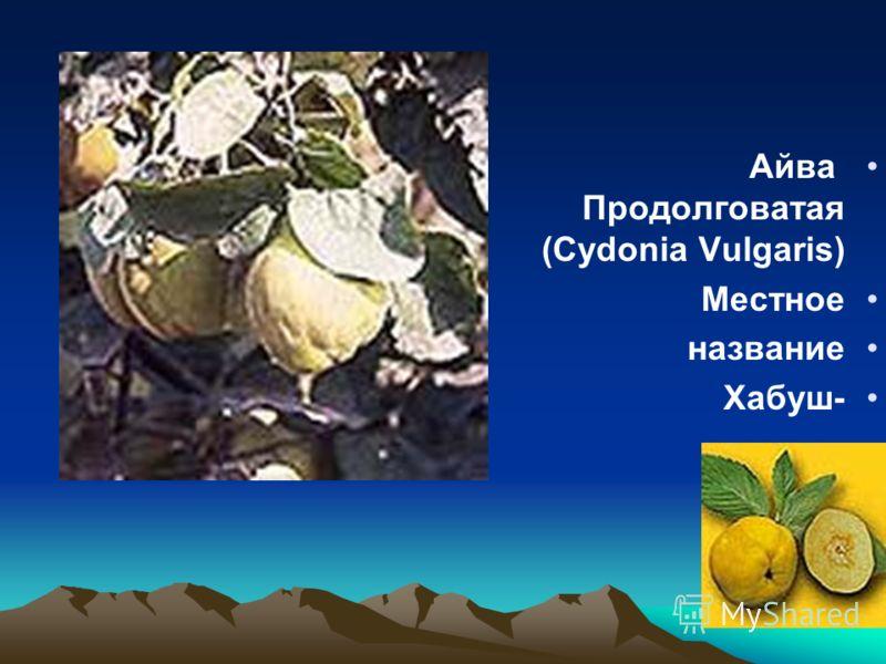 Айва Продолговатая (Cydonia Vulgaris) Местное название -Хабуш