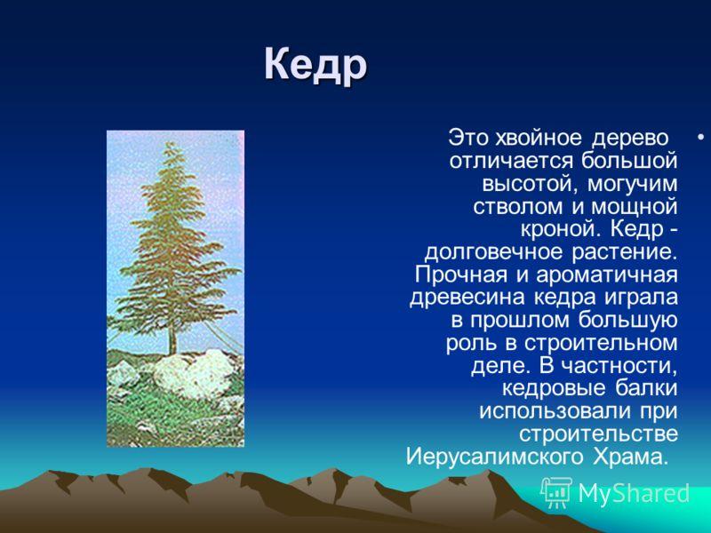 Кедр Это хвойное дерево отличается большой высотой, могучим стволом и мощной кроной. Кедр - долговечное растение. Прочная и ароматичная древесина кедра играла в прошлом большую роль в строительном деле. В частности, кедровые балки использовали при ст