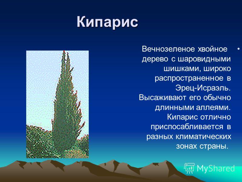 Кипарис Вечнозеленое хвойное дерево с шаровидными шишками, широко распространенное в Эрец-Исраэль. Высаживают его обычно длинными аллеями. Кипарис отлично приспосабливается в разных климатических зонах страны.