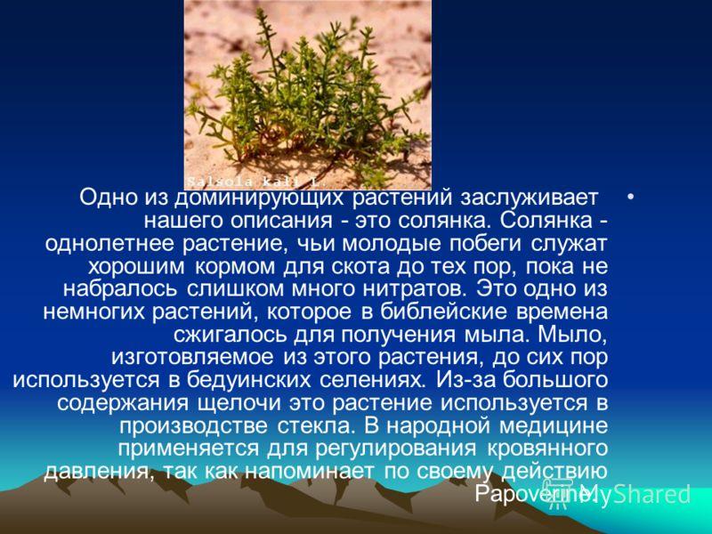Одно из доминирующих растений заслуживает нашего описания - это солянка. Солянка - однолетнее растение, чьи молодые побеги служат хорошим кормом для скота до тех пор, пока не набралось слишком много нитратов. Это одно из немногих растений, которое в
