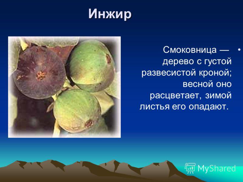 Инжир Смоковница дерево с густой развесистой кроной; весной оно расцветает, зимой листья его опадают.