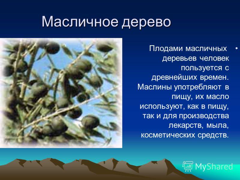 Масличное дерево Плодами масличных деревьев человек пользуется с древнейших времен. Маслины употребляют в пищу, их масло используют, как в пищу, так и для производства лекарств, мыла, косметических средств.