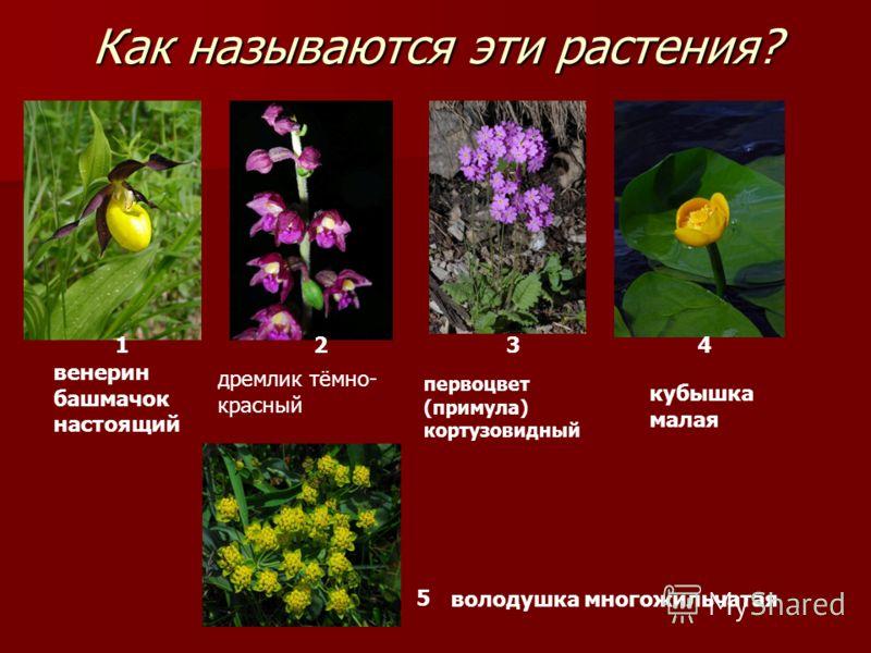 Как называются эти растения? 1 24 5 кубышка малая первоцвет (примула) кортузовидный венерин башмачок настоящий 3 володушка многожильчатая дремлик тёмно- красный